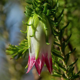 Darwinia 'Cranbrook Bell' by Bruce Frye