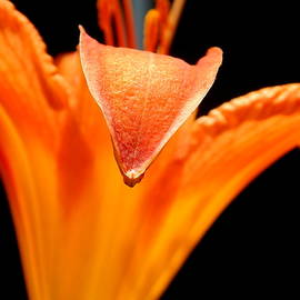 Daylily by Arlane Crump