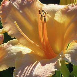 Brooks Garten Hauschild - Daylily Magic - Beauty in the Garden