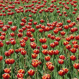 Dazzling Sea of Tulips by Lyuba Filatova