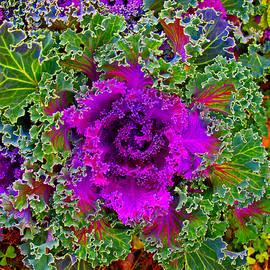 James Granberry - Decorative Cabbage