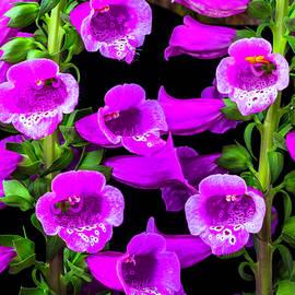 Garry Gay - Deep Purple Foxglove