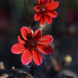 Carrie Goeringer - Deep Red Dahlia