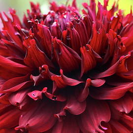 Christiane Schulze Art And Photography - Deep Red Dahlia