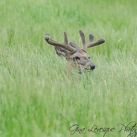 Deer by Gina Levesque