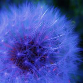Delicate Dandelion Beauty by Sharon Ackley