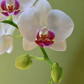 Delicate Orchid by Kathy Yates