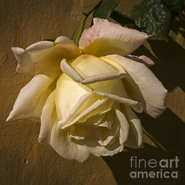 Inge Riis McDonald - Delicate rose