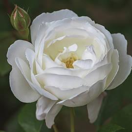 Desdemona Rose 1856 by Teresa Wilson