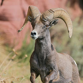 Gary Langley - Desert Bighorn Sheep