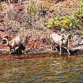 Glenn McCarthy Art and Photography - Desert Bighorn Sheep - Lake Havasu