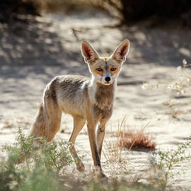 Arik Baltinester - Desert Fox