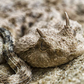 Desert Horned Viper by Ruth Jolly