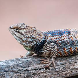 Desert Spiny Lizard by Tamera Wohlever