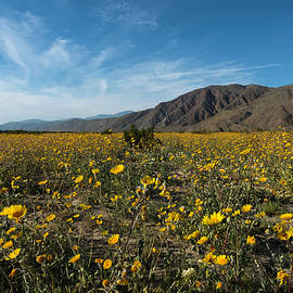 Desert Sunflower Super Bloom by Scott Cunningham