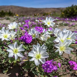Peter Tellone - Desert Super Bloom 2017