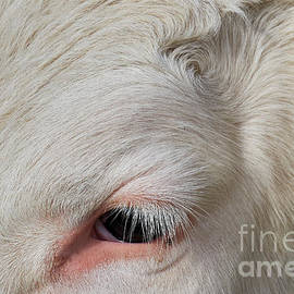 Detail Of The Head Of A Cow by Nick Biemans