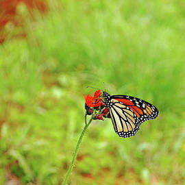 Devil's Paintbrush And Monarch by Debbie Oppermann