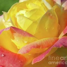Cindy Treger - Dew Drops - Rose