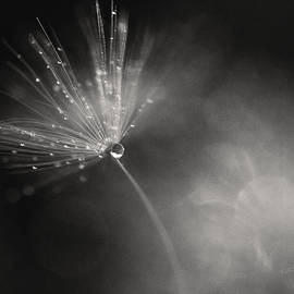 Dewy Dandelion Fireworks by Kharisma Sommers