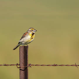 Dickcissel 2017-4 by Thomas Young