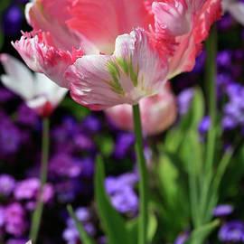 Tracy Hall - Divine Tulip