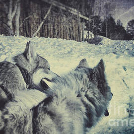 Dog Sled Siberian Huskies in Lapland by A Cappellari