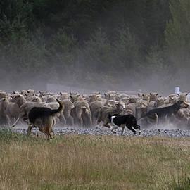 Sally Weigand - Dogs Herding Sheep
