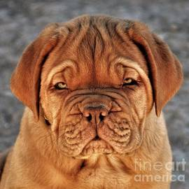 Greg Gregory - Dogue Pup Happy Face