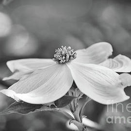 Dogwood Bloom Black And White by Sharon McConnell