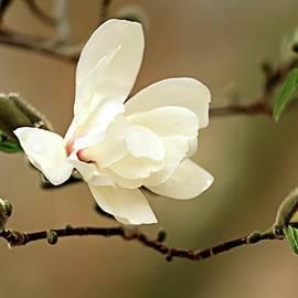 Geraldine Scull - Dogwood blossom and buds