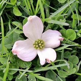 Karen Silvestri - Dogwood Blossom In Grass