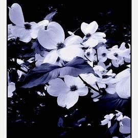 Debra Lynch - Dogwood Blossoms In Black and White