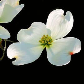 Kristin Elmquist - Dogwood Blossoms