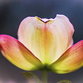 Dogwood Flower by Dirk Fecho