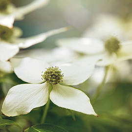 Dogwood by Sharon McConnell