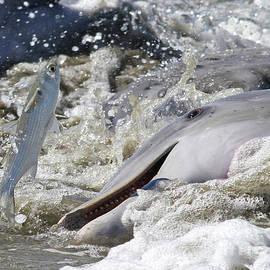 Dolphin Strand Feeding 2 by Kevin McCarthy