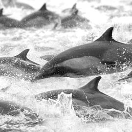 Dolphins On The Run by Steve Munch