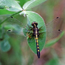 Dot-tailed Whiteface by Bill Morgenstern