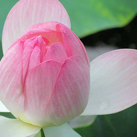Dotus on the Lotus  by Lori Pessin Lafargue