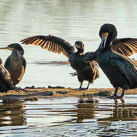 Double-crested Cormorants Sunning at Gilbert Riparian Preserve by Priscilla Burgers
