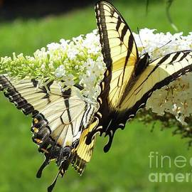 Cindy Treger - Double The Pleasure - Eastern Tiger Swallowtails