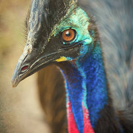Double Wattled Cassowary by Lauri Novak