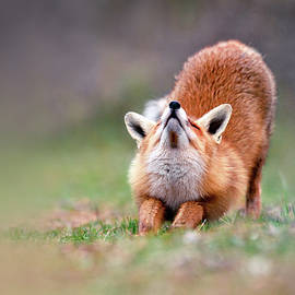 Roeselien Raimond - Downward Fox