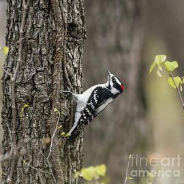 David Cutts - Downy Woodpecker