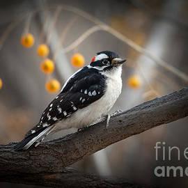 Downy Woodpecker by Lisa Manifold