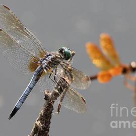 Dragonflies Predatory Insects Dragonfly Buddies Wildlife Art by Reid Callaway