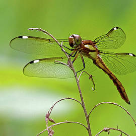 Dragonfly by David Freuthal