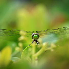 Carol Groenen - Dragonfly Dream in Green