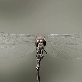 Dragonfly in Drag